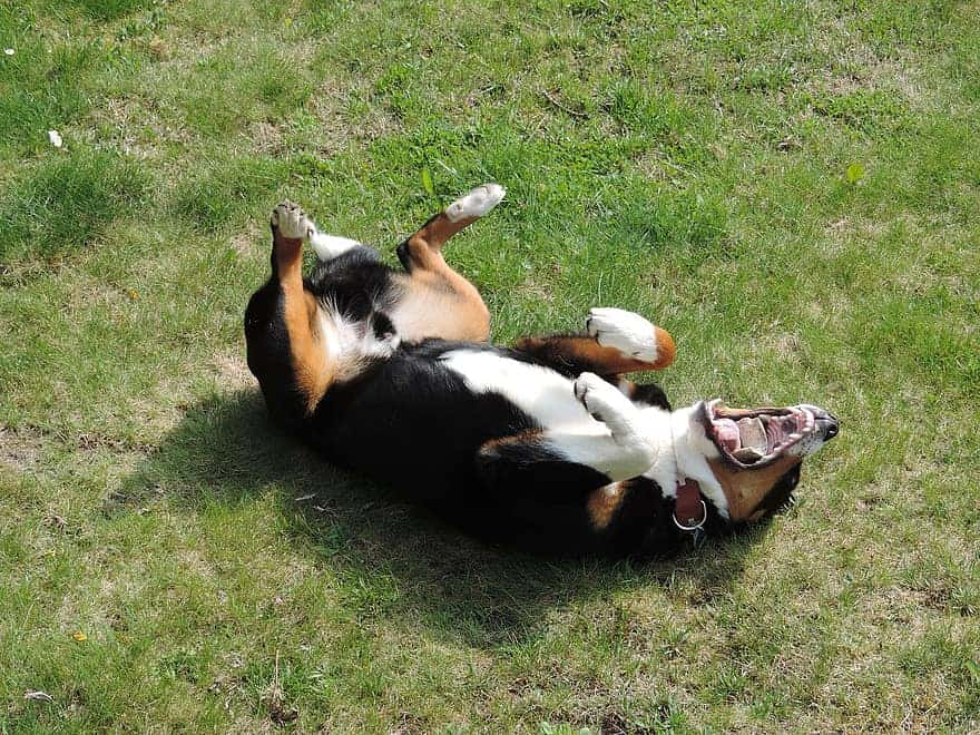 dog rolling in the grass