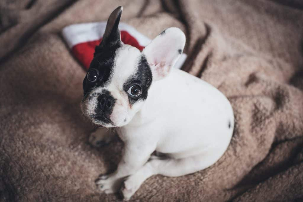 genetic disorders of a french bulldog