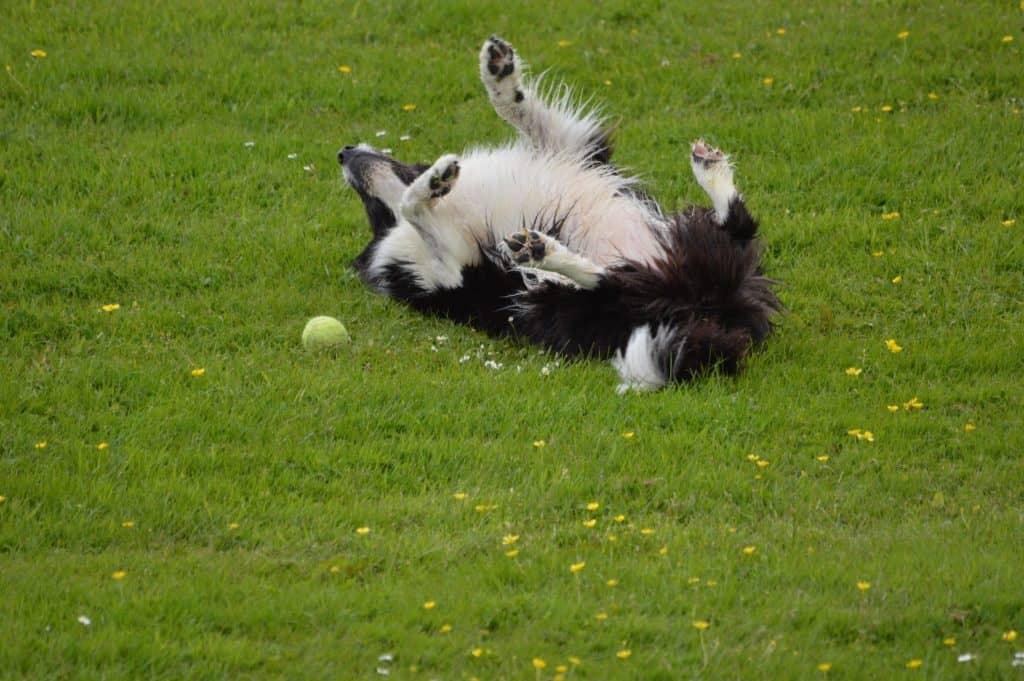 happy dog rolls in the ground