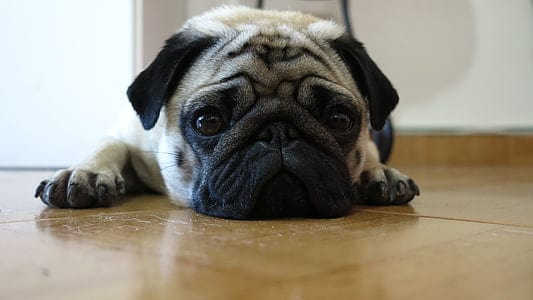 puppy pug has calmed down