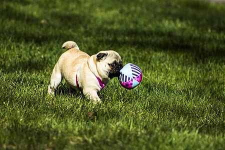 puppy pug is playing