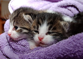 Klinefelter syndrome in cats