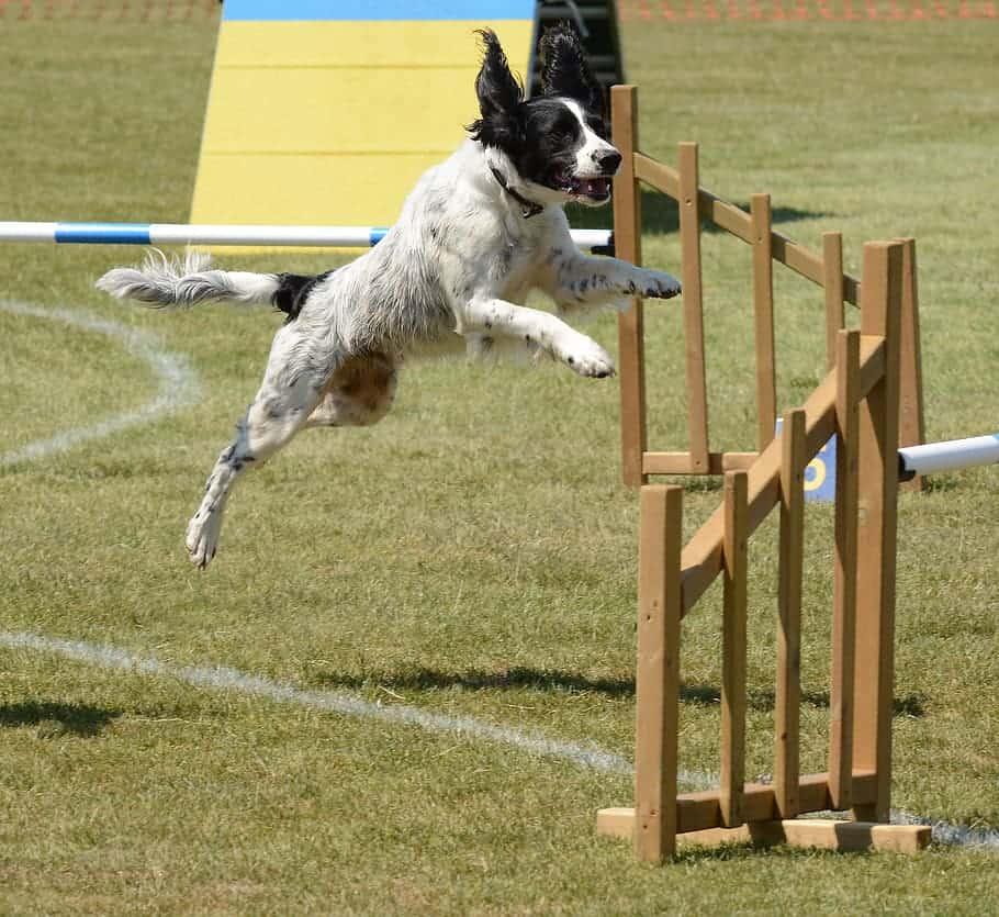 agile dog jumping exercise