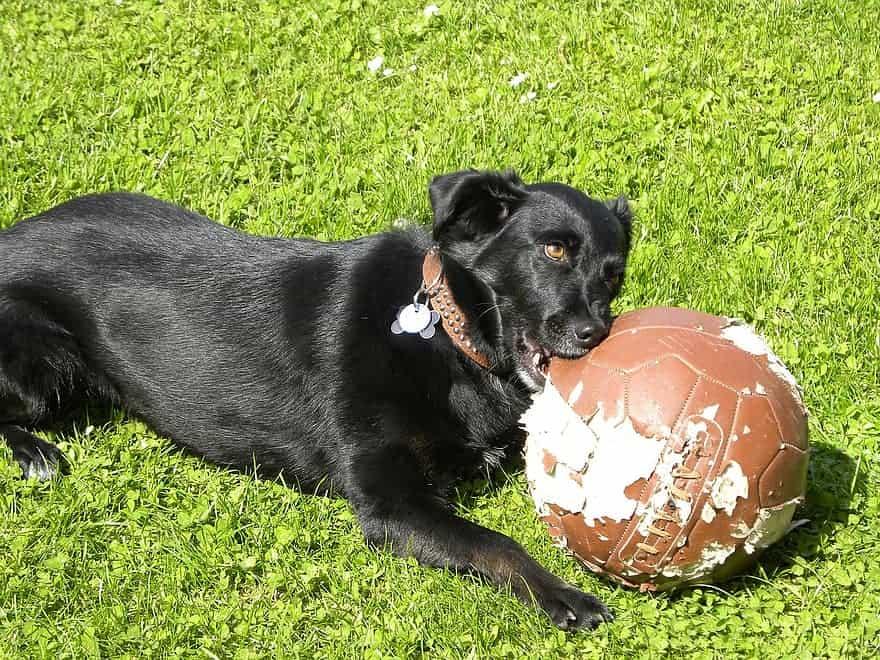 dog eating dirty ball