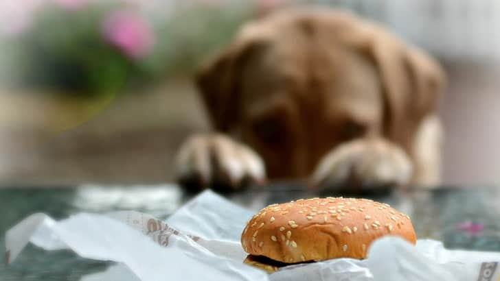 dog's constant craving for food