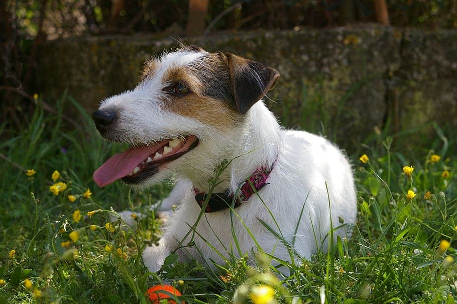 remove loose flower heads or ridges off dog's fur