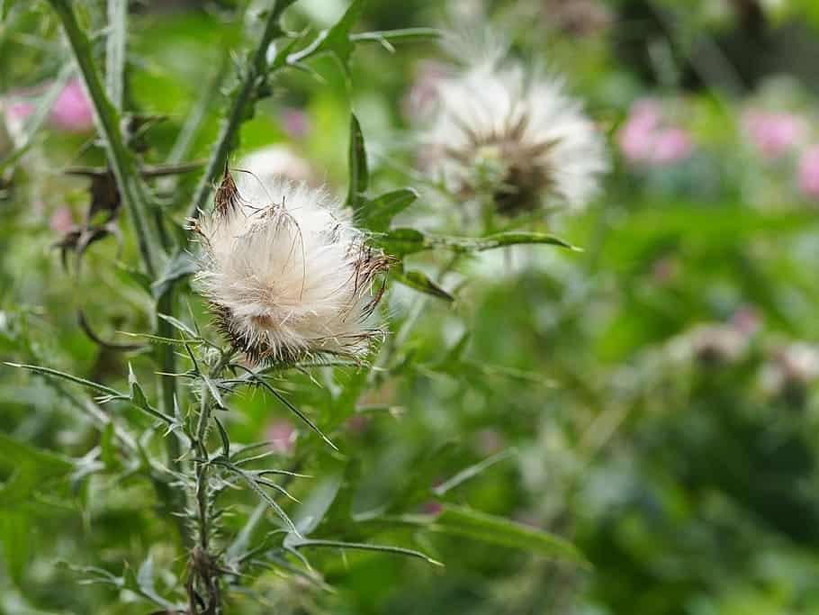 sticky grass seeds and burdock on dog's fur