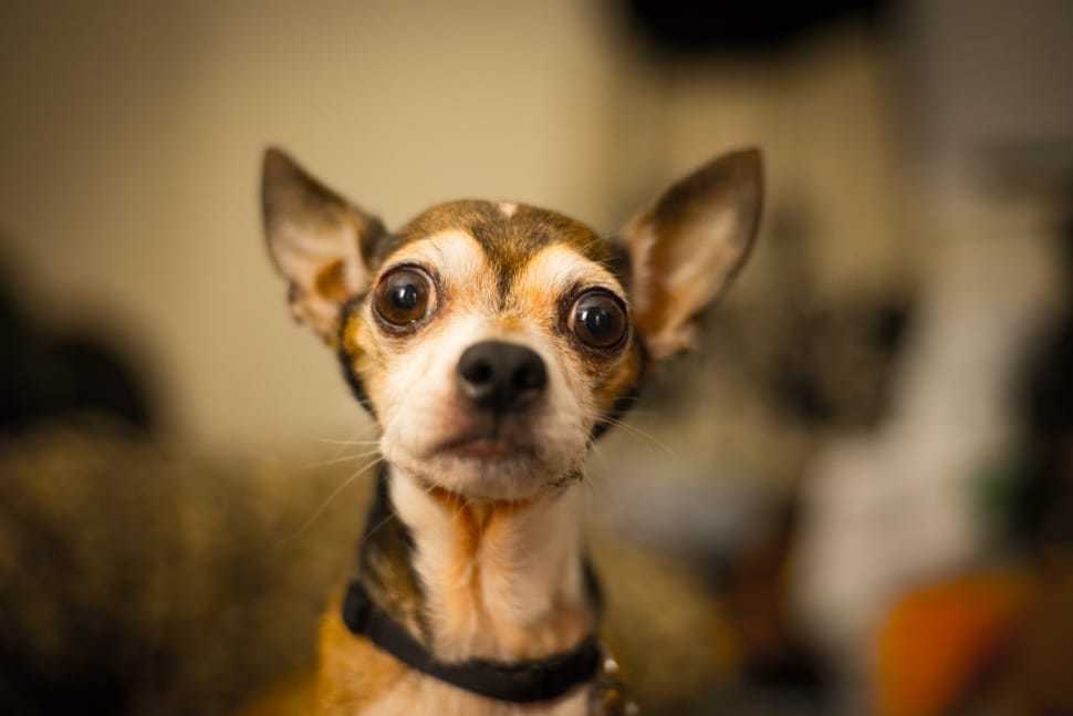 Chihuahua ectopic eyelashes