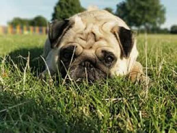 Flea Bite Allergy Dermatitis in pugs