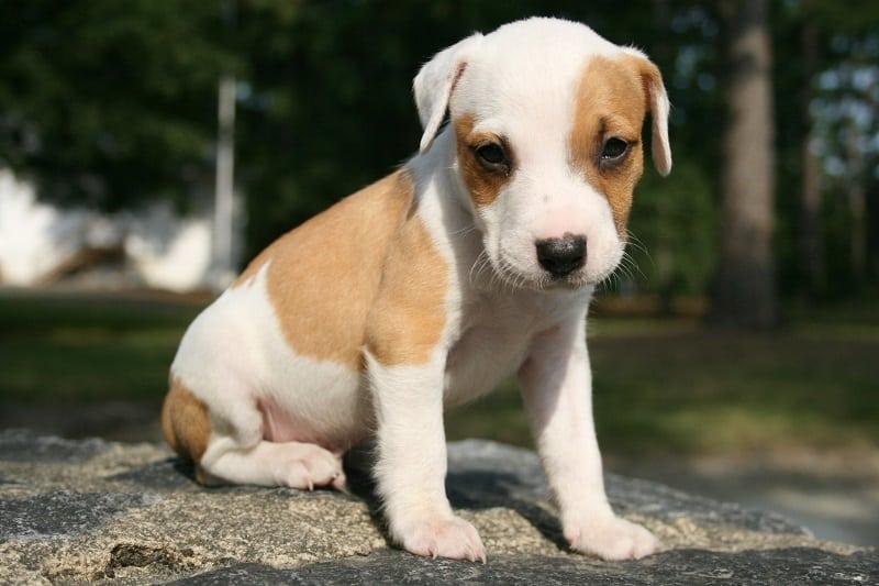 Symptoms of pneumonia in dogs