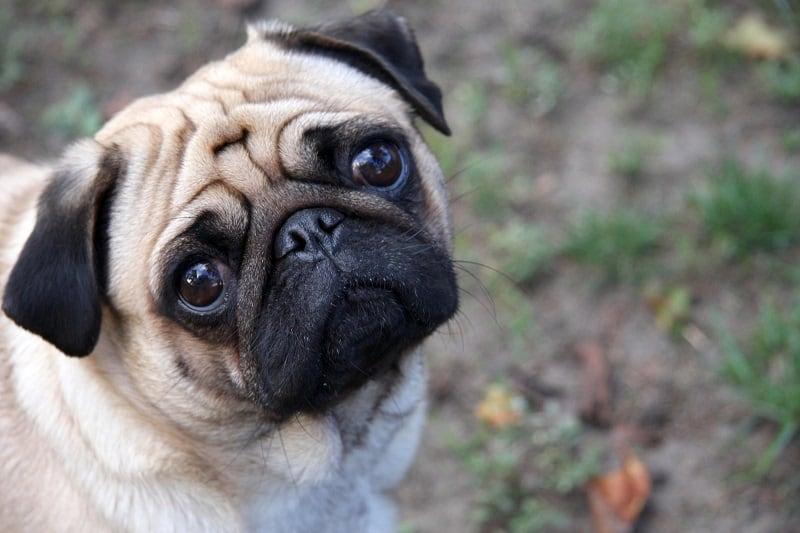 Symptoms of pug allergies