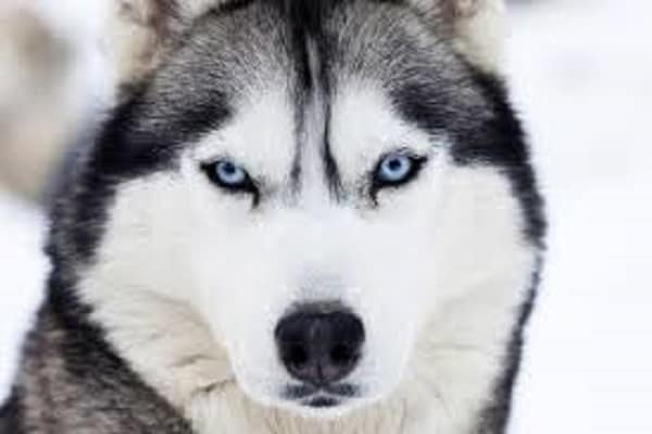 behavioral traits of a husky