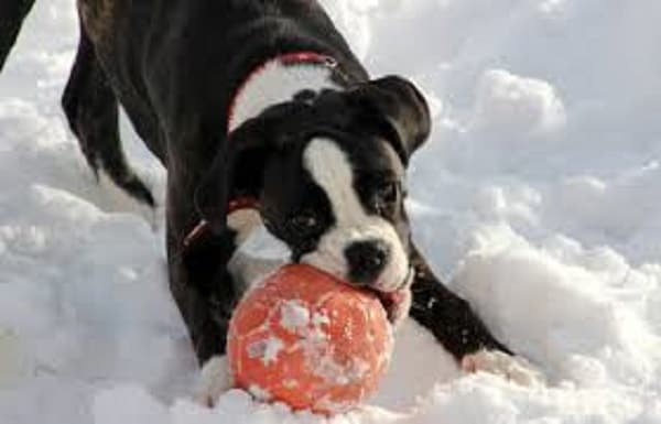 chewing toys for puppy boxer
