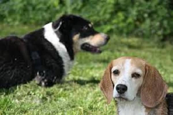 communication between dogs