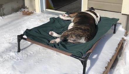 english bulldog sleeping outdoors