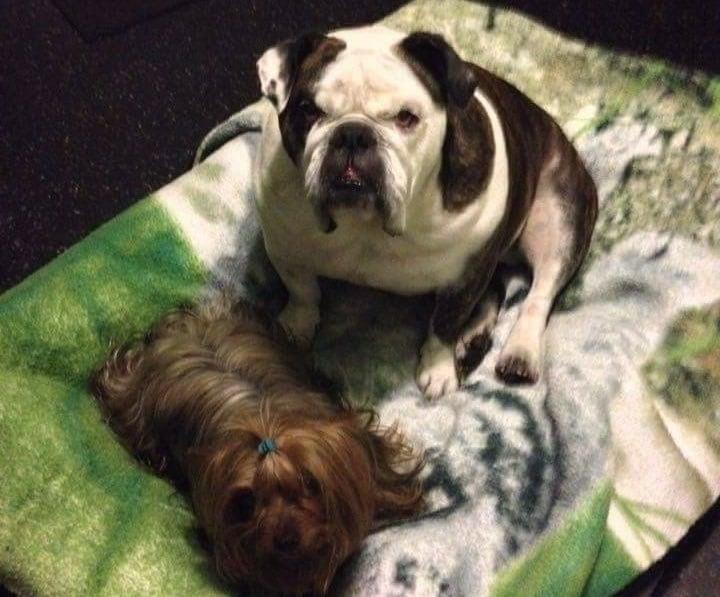 english bulldog with friend