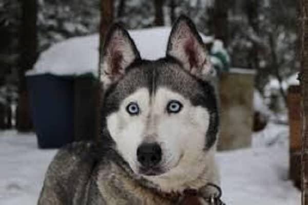 how to decode a husky's behavior