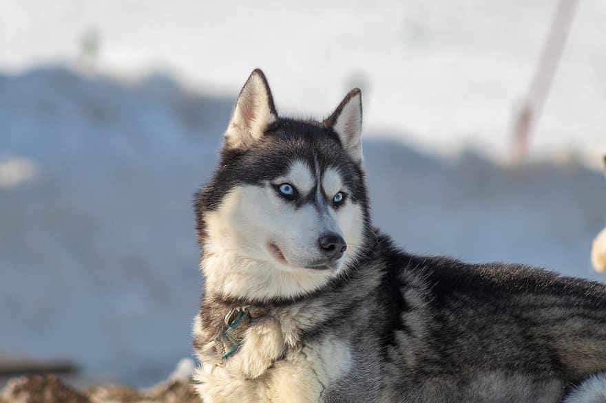 husky looking away