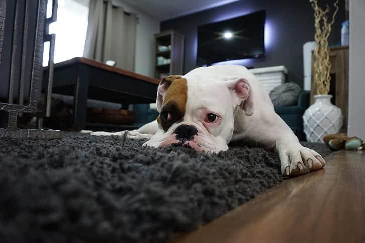 puppy english bulldog sleeping on rug