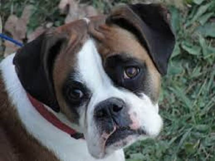 teach a puppy boxer not to nibble
