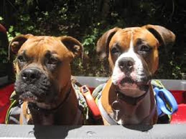 two boxers socializing