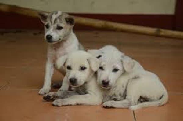 Congenital ventricular arrhythmia in puppies