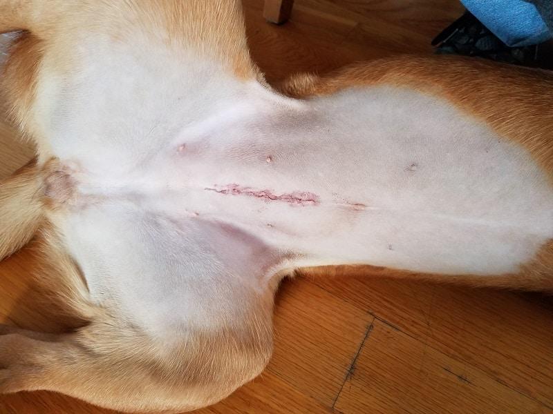 Female dog spay incision