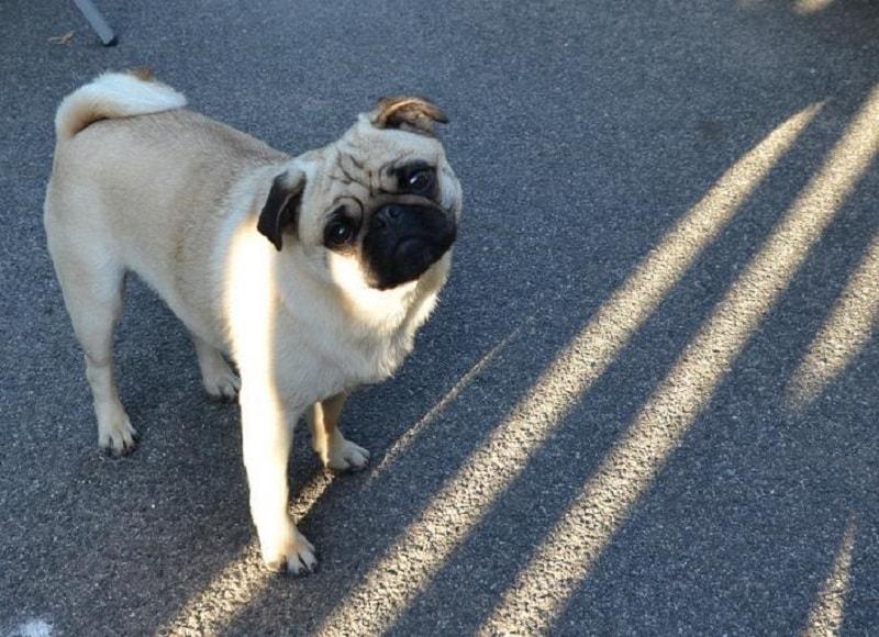 Geriatric vestibular syndrome in dogs
