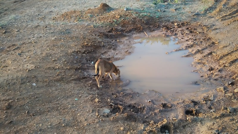 chances of being cured from leptospirosis