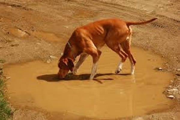dog drinking water in a puddle