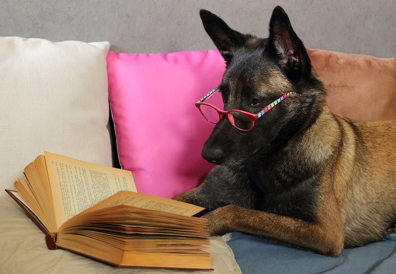 intelligent german shepherd
