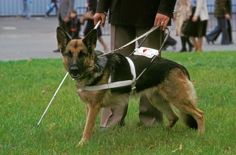 shepherd guide dog