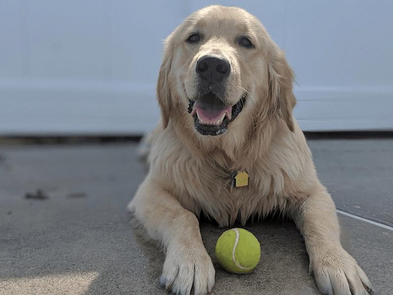 Degenerative Mitral Valve Disease in dogs