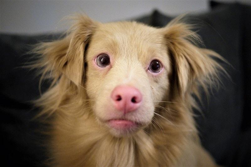 albino dog health issues