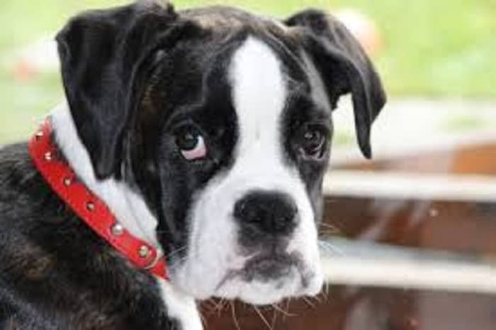 black and white puppy boxer