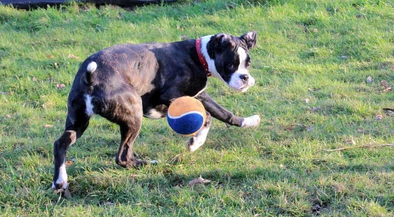 boxer playing with a ball