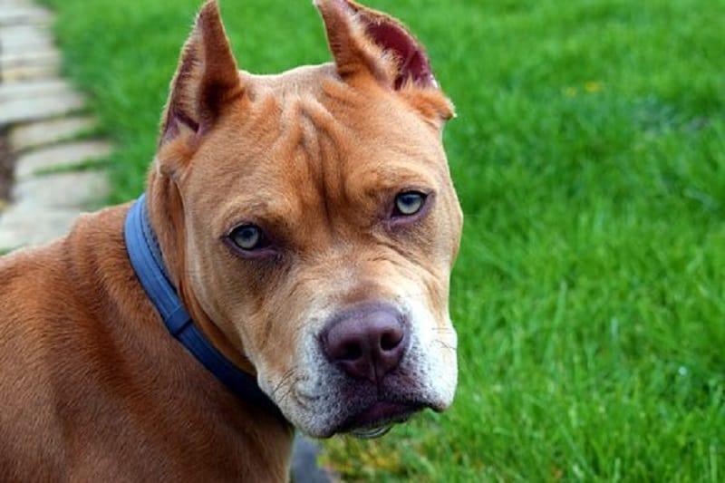 common pit bull diseases