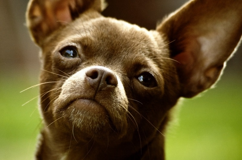 correct bad behavior of a Chihuahua