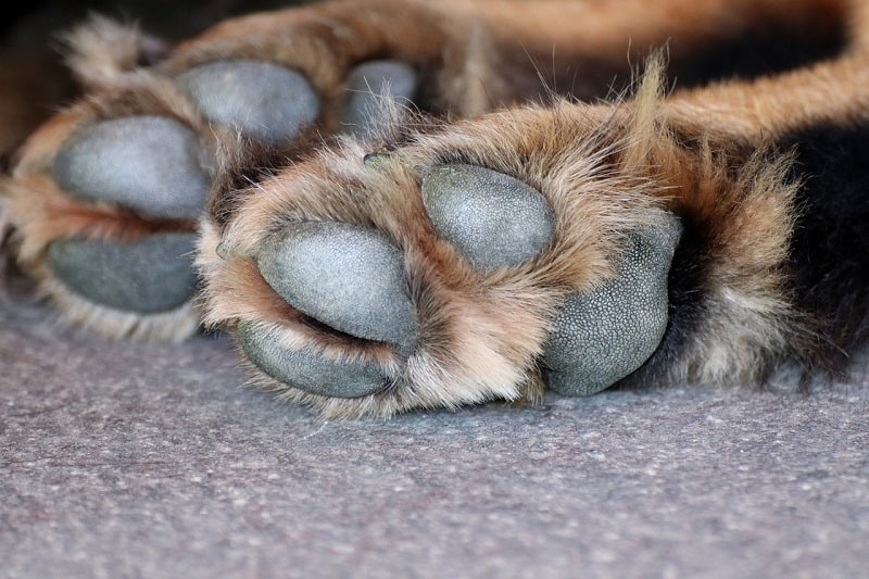 how to treat damaged dog paw pads