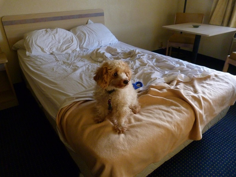 dog staying at the hotel on vacation
