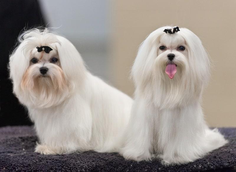 grooming tips for maltese dogs