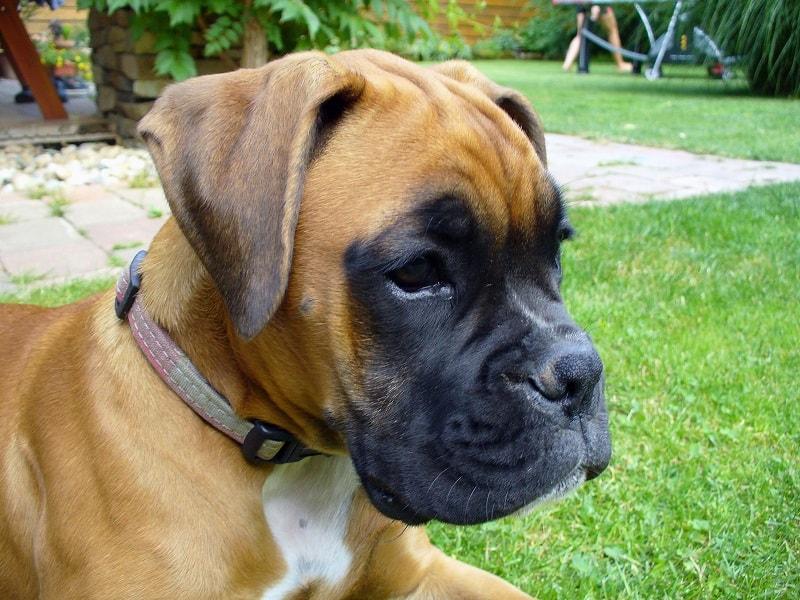 health profile of a boxer dog
