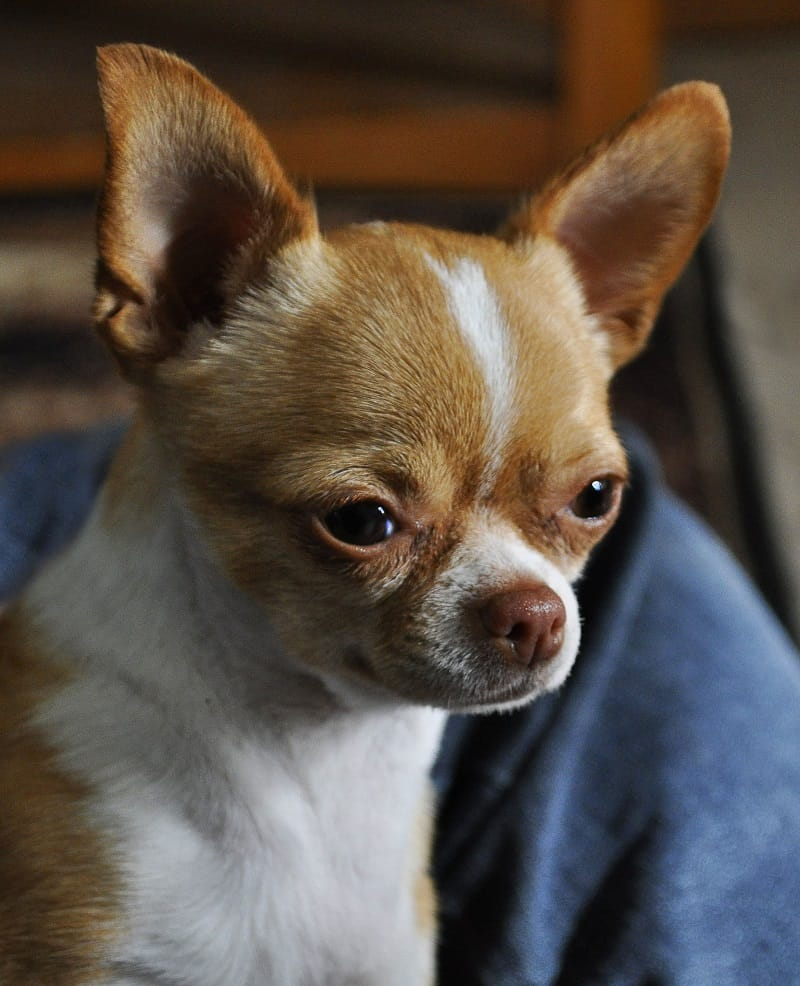 importance of training a Chihuahua