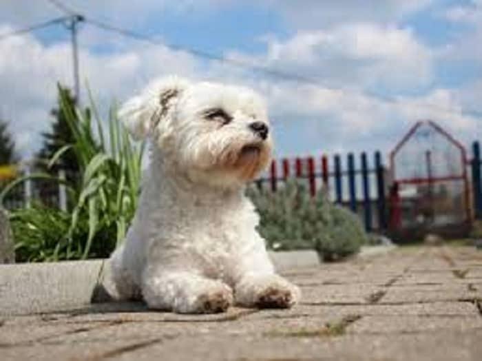 maltese dog health concerns