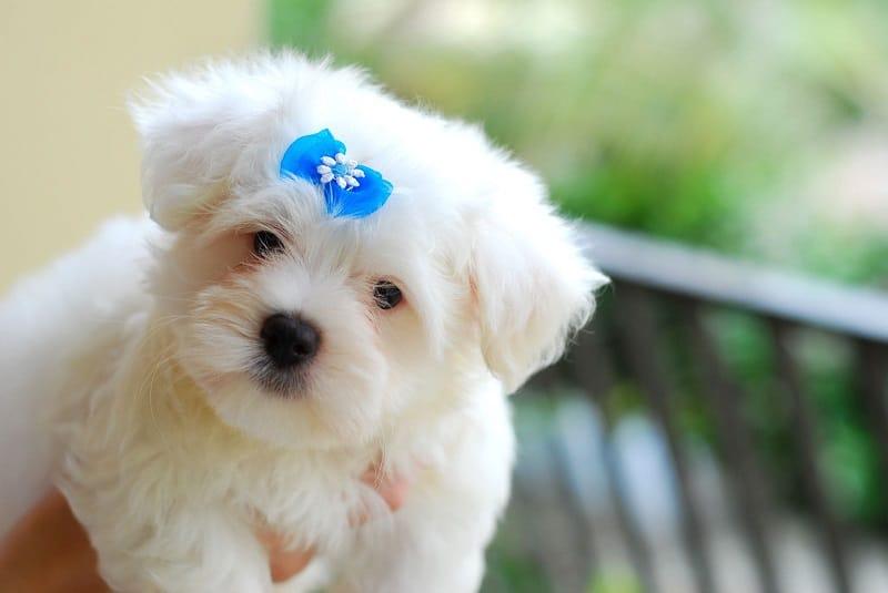 maltese dog health problems