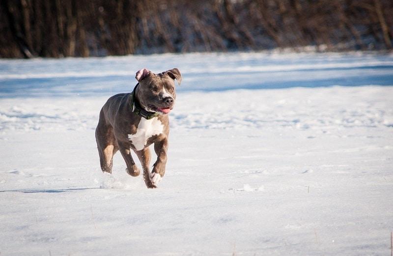 pitbull health problems