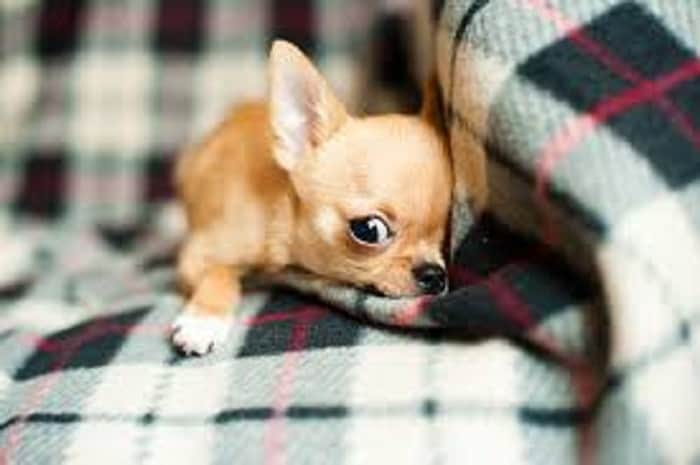 puppy Chihuahua behavior