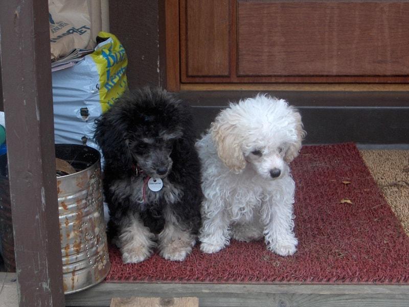 puppy poodles