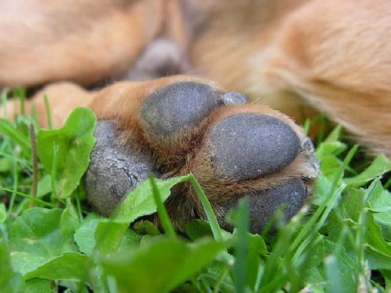 rough dog paw pads