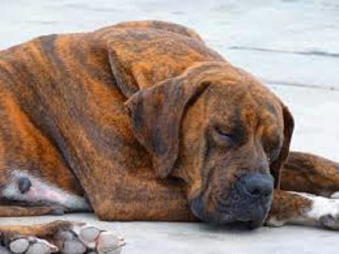 symptoms of heart diseases in dogs